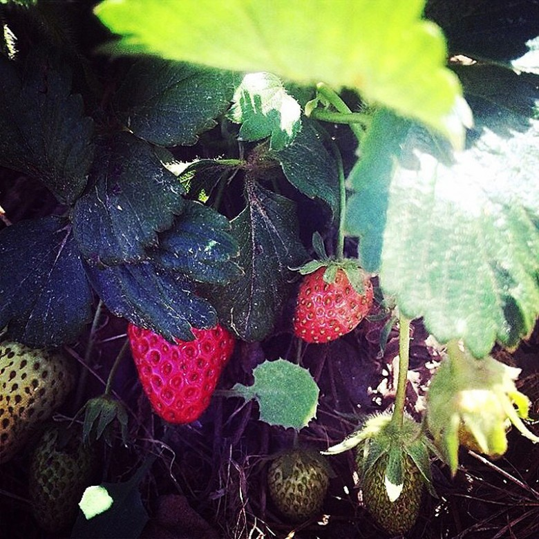 Daylesford Farm Scarecrow Strawberries