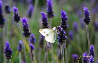Butterly on lavender flower