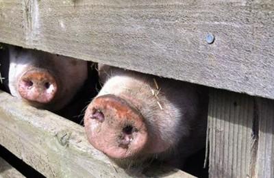 Pig Pledge