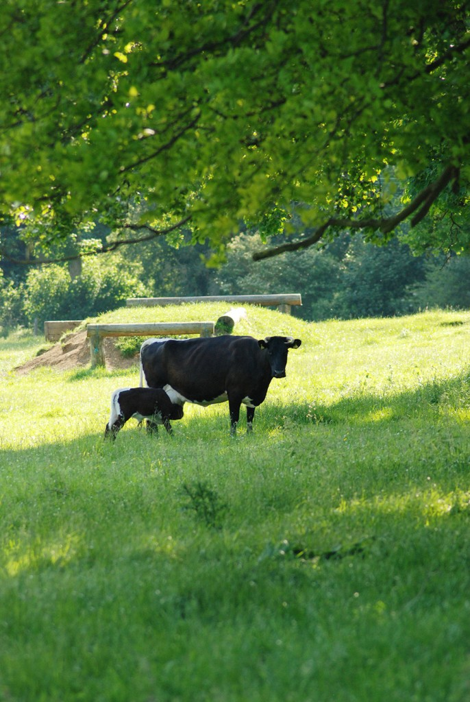 Our Gloucester Cows