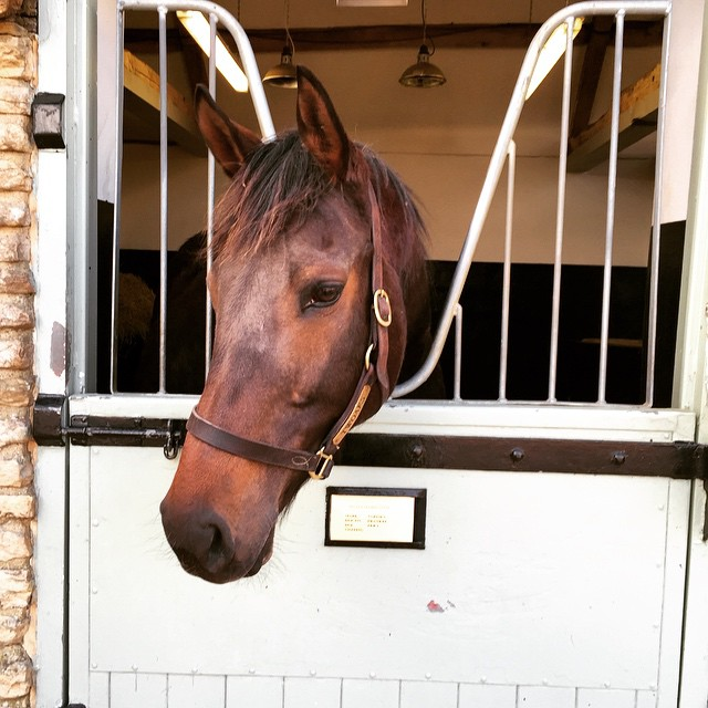 Sariska in the maternity wing. Looking forward to seeing her foal by the great #Frankel #thoroughbreds #racehorses #daylesfordstud