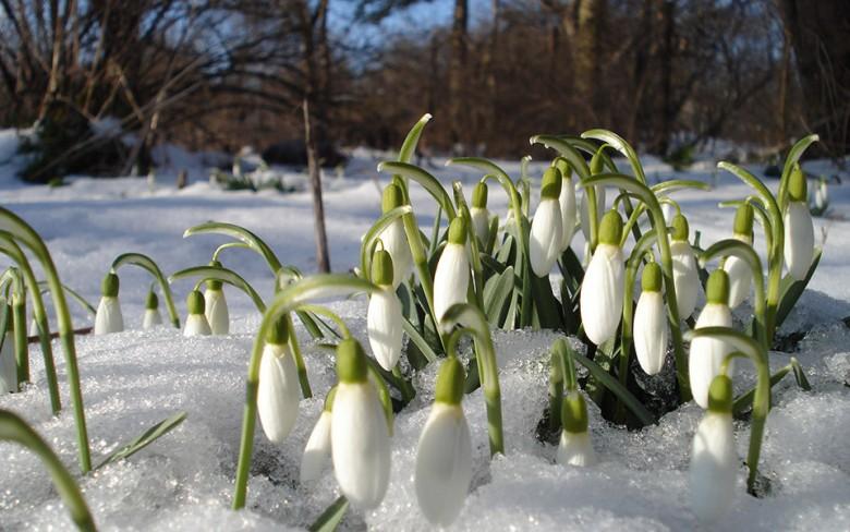 Snow_Drops_10