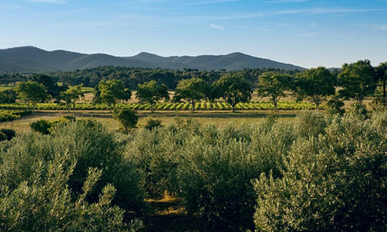 Olive trees and grapevies at the Chateau Leoube