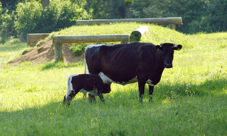 A cow with her calf