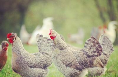 Blue Legbar Hen