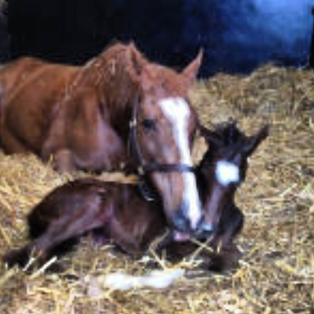 Colt foal just born by #oasis dream #stagepresence #thoroughbreds #racehorses @daylesfordstud
