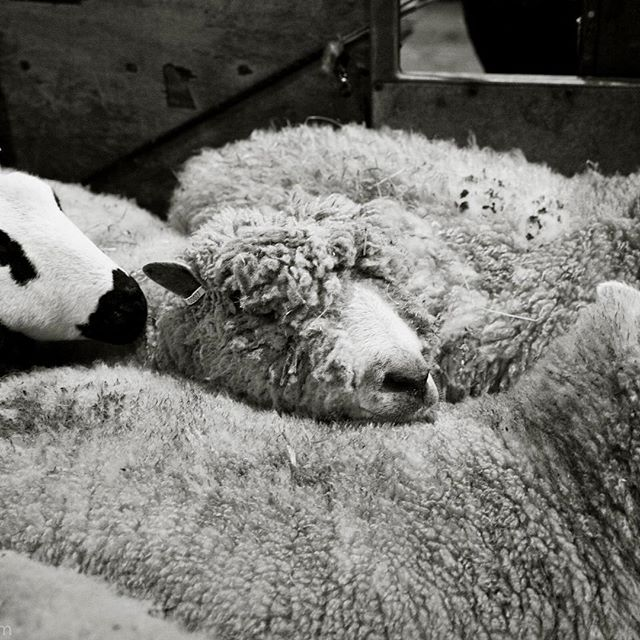 This week is Wool Week - celebrating one of nature's most sustainable resources. Wool is a material that we treasure @bamfordjournal and @daylesfordfarm. Our Cotswold sheep are shorn twice a year, their fleeces spun and woven into cloth from which we make throws and cushions - the perfect natural cycle #woolweek @campaignforwool #natural #organic #sustainable #wool