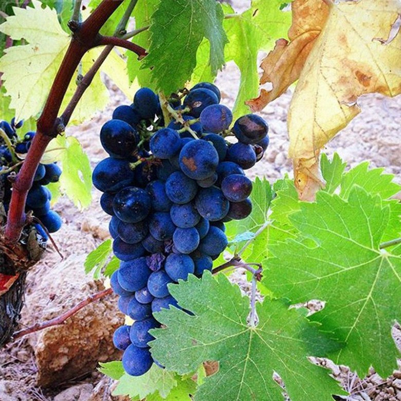 A vibrant bunch of concord grapes growing on the vineyard in Provence,  France