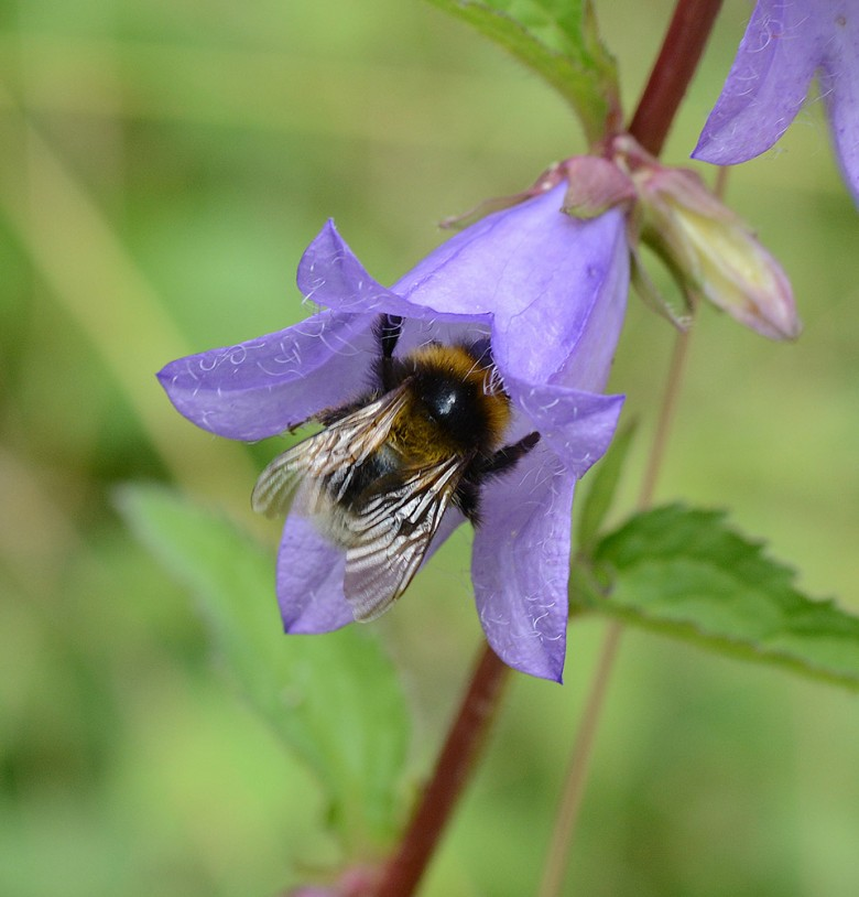 A Pollinating Bee