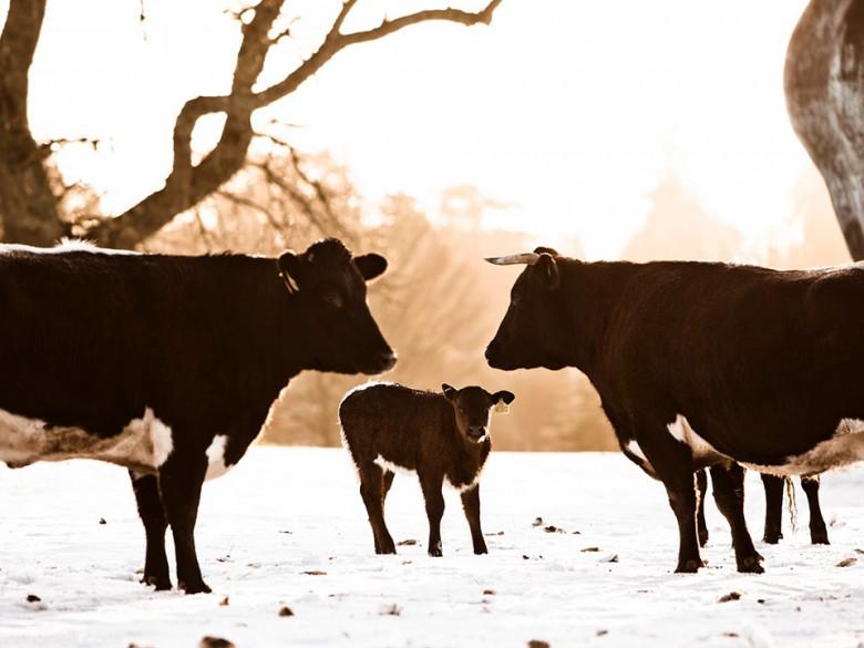 Daylesford Farm Animals
