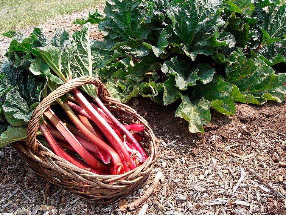 Rhubarb in a field