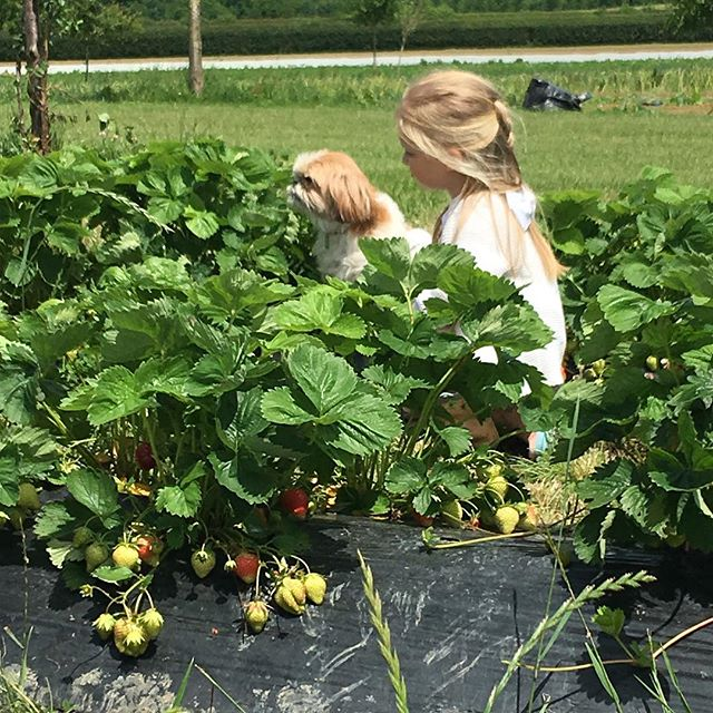 First day of pick your own strawberries @daylesfordfarm #organic #strawberry #summer #cotswolds