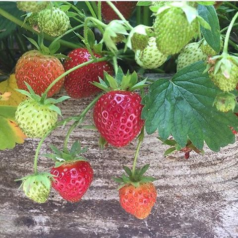 Looking forward to our Pick Your Own day at the farm tomorrow. Join us in the market garden to take your pick of organic salad leaves, herbs, vegetables and the first strawberries of the year #organic #fieldtofork #marketgarden #seasonal #summer #PYO #strawberries #cotswolds @daylesfordfarm