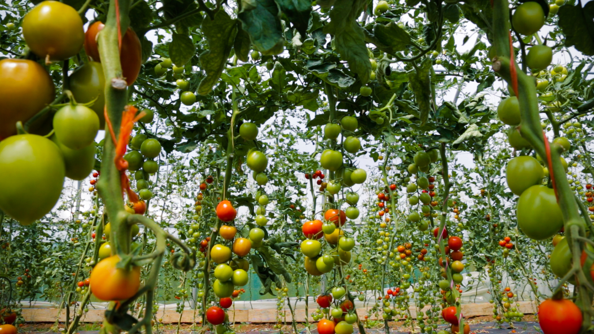 Green and Red Tomatoes growing on vines
