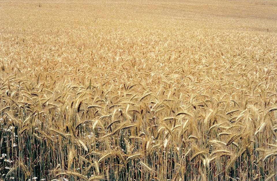 Cereals oil seeds
