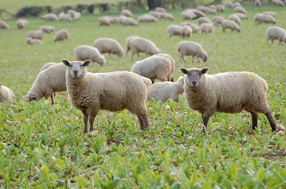 sheep in stubble