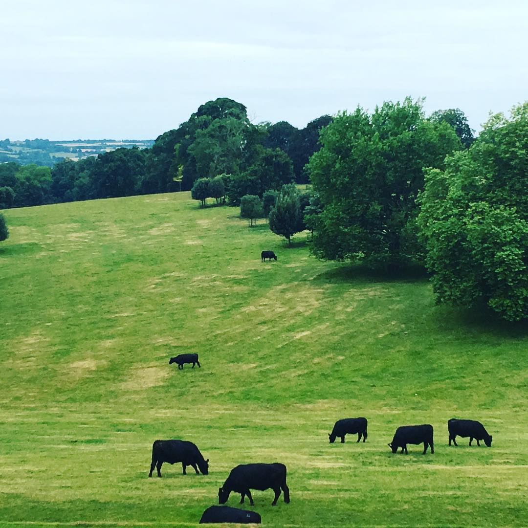 My view this morning. Contented Aberdeen Angus @daylesfordfarm #farmlife
