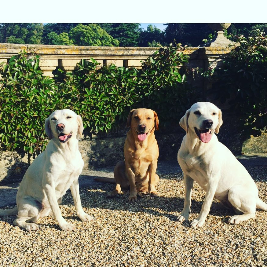 Three happy labs this morning #best friends #labsofinstagram