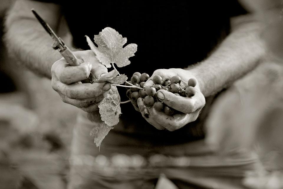 grape in hands