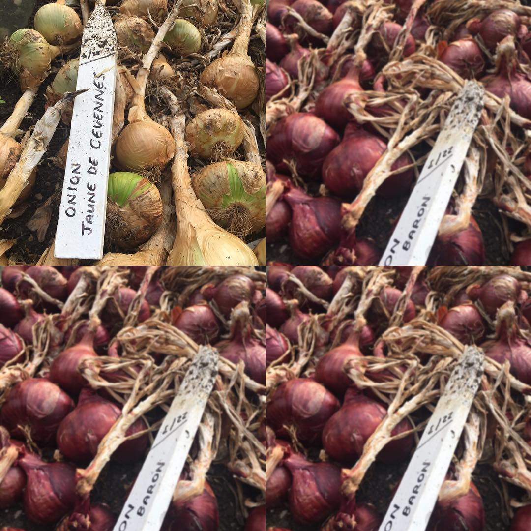 Onions drying out ready for Jez our market gardener to make strings for the Harvest festival on Saturday @daylesfordfarm #cotswolds #harvestfestival