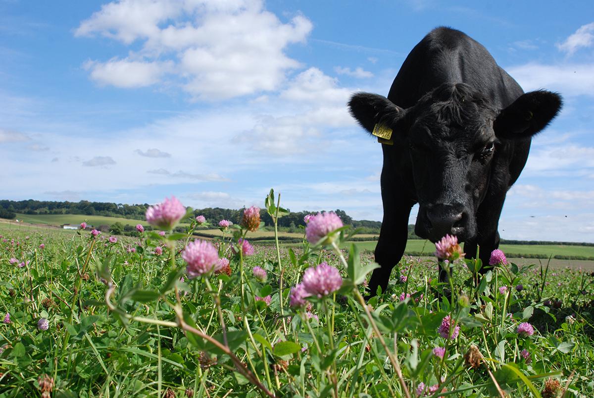 Single cow grazing in a field