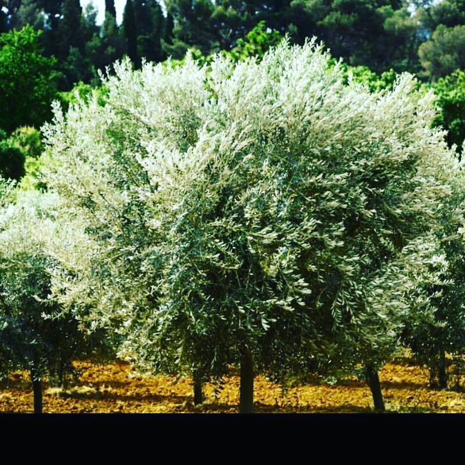 Olive Trees ready for harvest @Leoube #olives #leoube