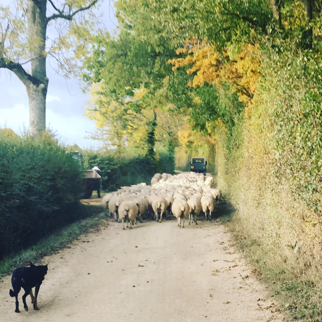 The ewes were on the move last night @daylesfordfarm #farmlife