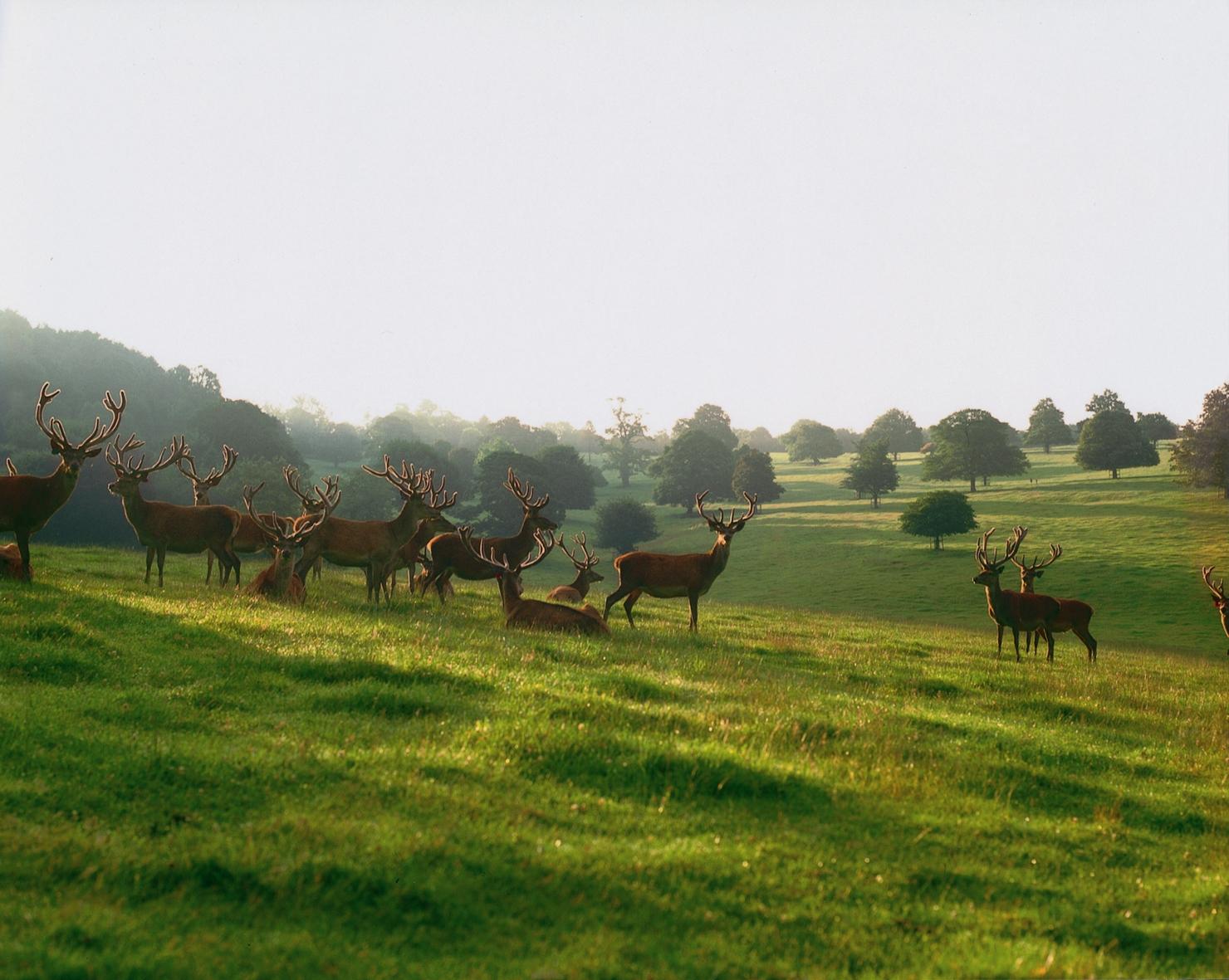 Heard of Deer in Field at Daylesford