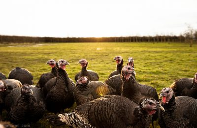 Choose an Organic Turkey this Festive Season
