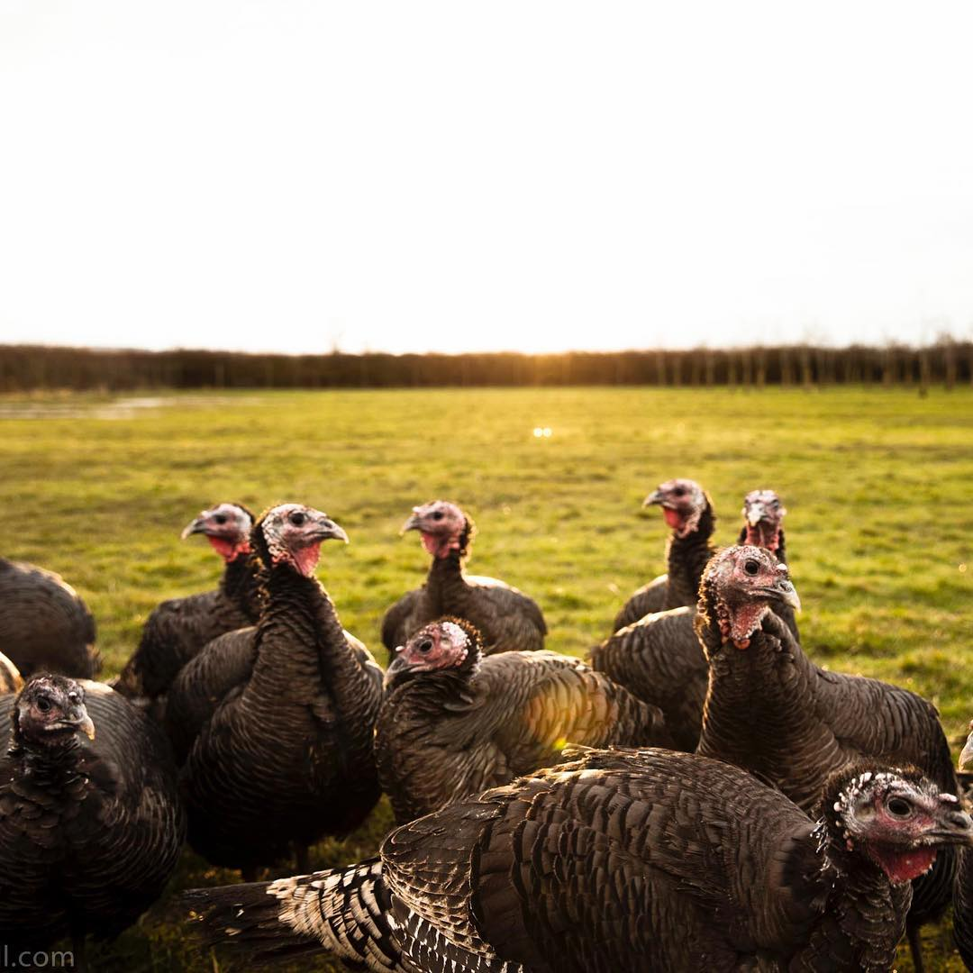 Our organic bronze turkeys enjoying a wander on the farm @daylesfordfarm #organic #handreared #freerange #turkey #christmas #preordernow