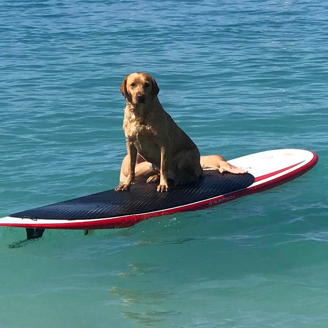 Lucky learning to paddle board #lucky #labrador #paddleboarding
