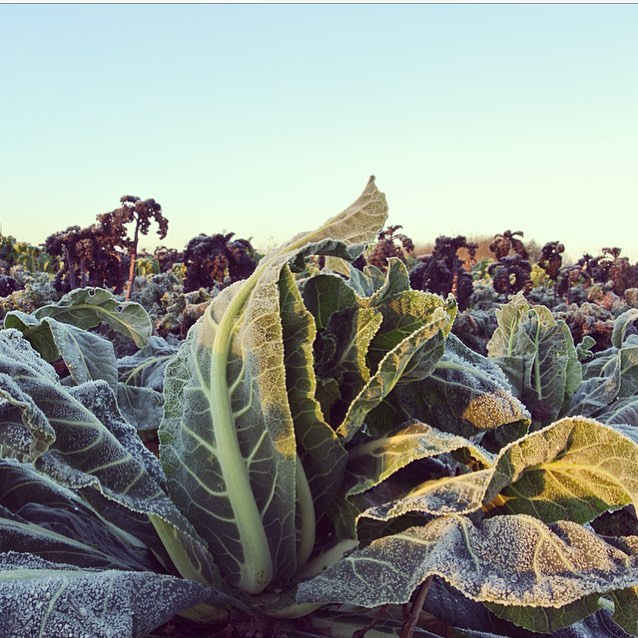 Organic winter greens in the market garden #wintergreens #Eattobehealthy #organic #seasonal #goodness @daylesfordfarm