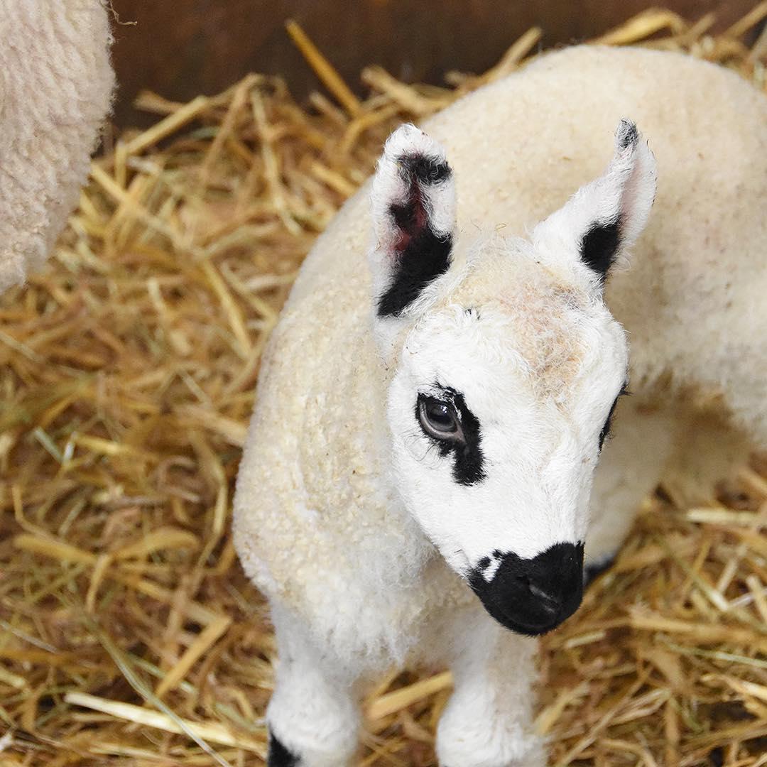 Lambing season begins at the farm #newlife #farmlife #spring #lambs #kerryhill @daylesfordfarm