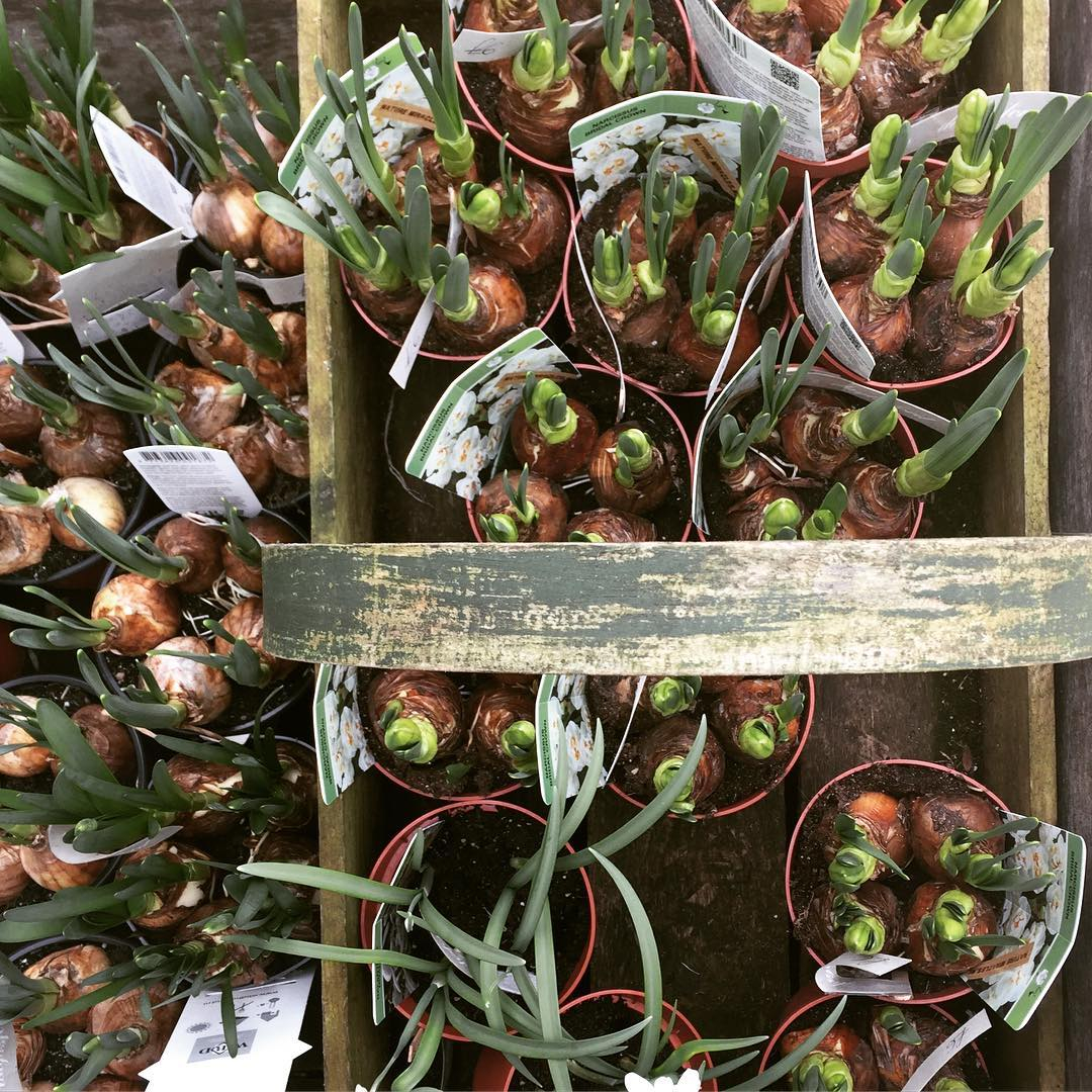 Spring bulbs ready for planting #spring #bulbs #nature @daylesfordfarm