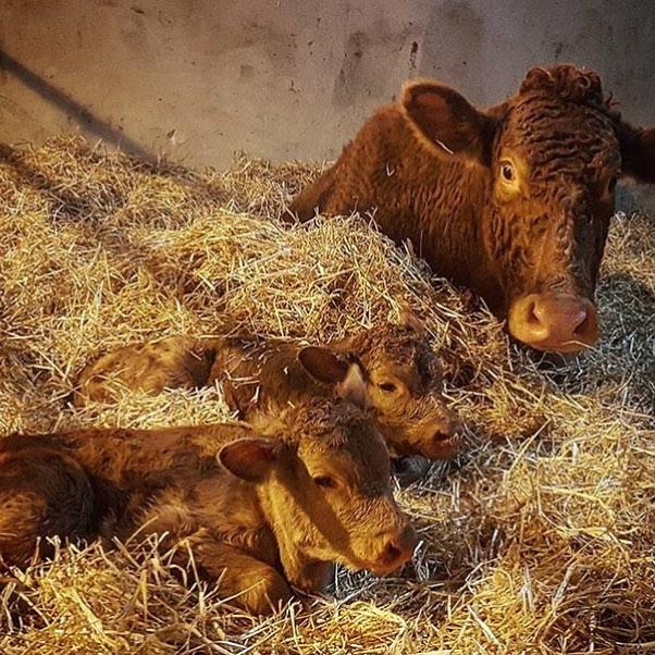 South Devon twins just born at the farm #southdevon #twins #farmlife #spring @daylesfordfarm