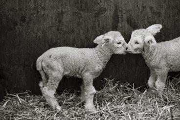 newborn lambs daylesford farm