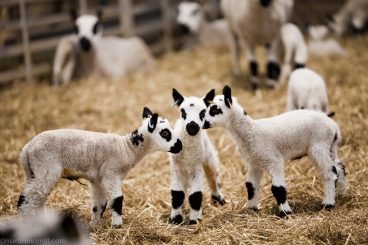 easter lambing at daylesford