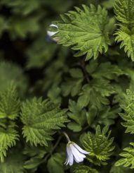 cuckoo flower daylesford