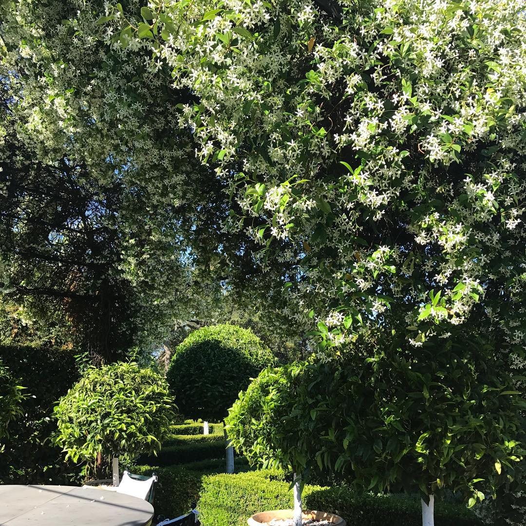 The heavenly scent of jasmine #nature #jasmine #summertime