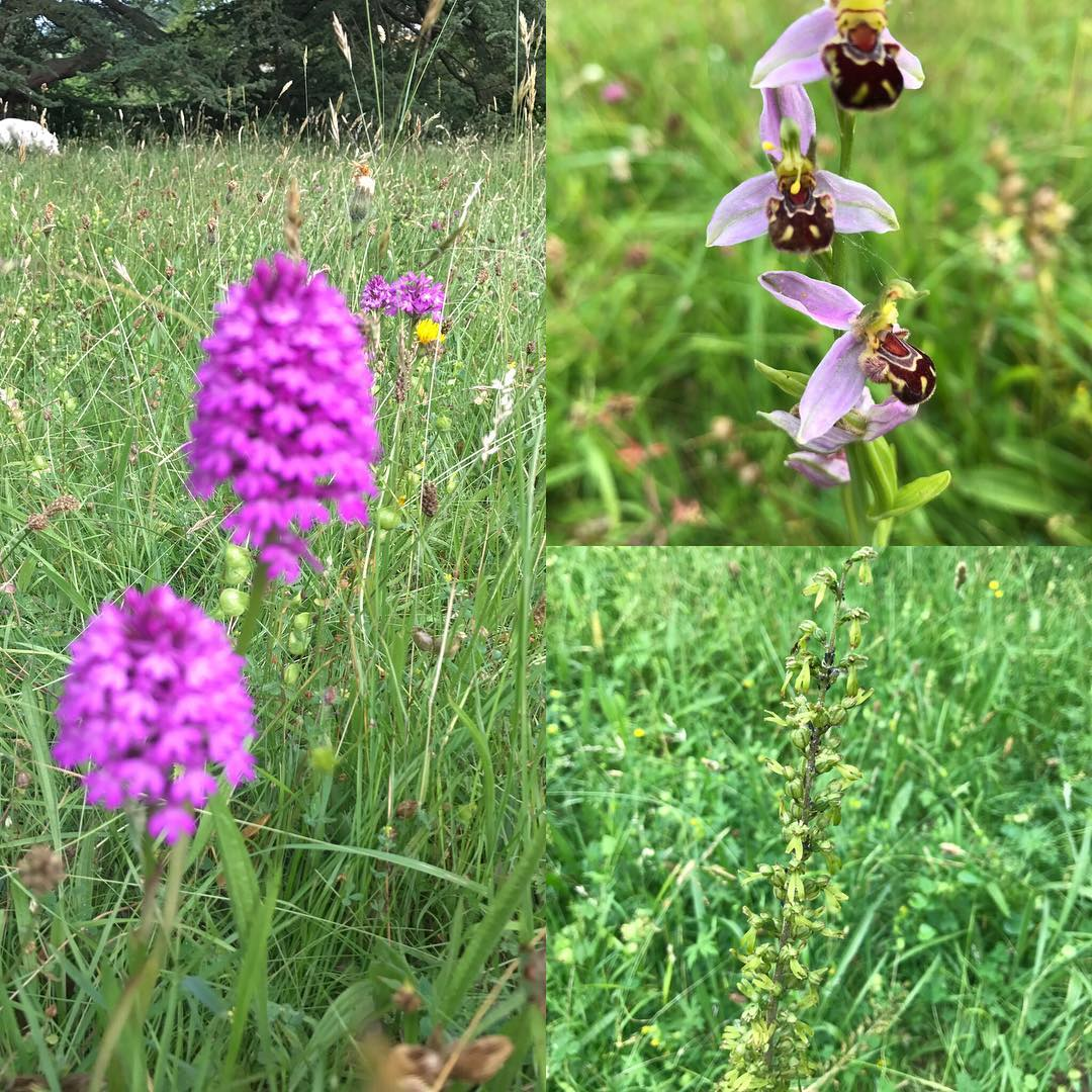 Spotted today @daylesfordfarm three types of wild orchid #beeorchid #butterflyorchid #pyramidorchid . In awe and wonder of #nature #naturelovers #inspiredbynature