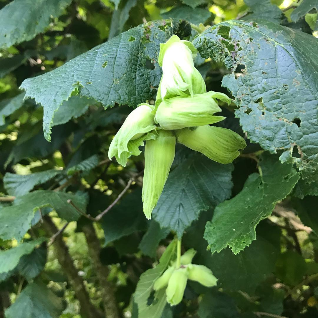 The wonderful green of cobnuts spotted this morning #cobnuts #inspiredbynature