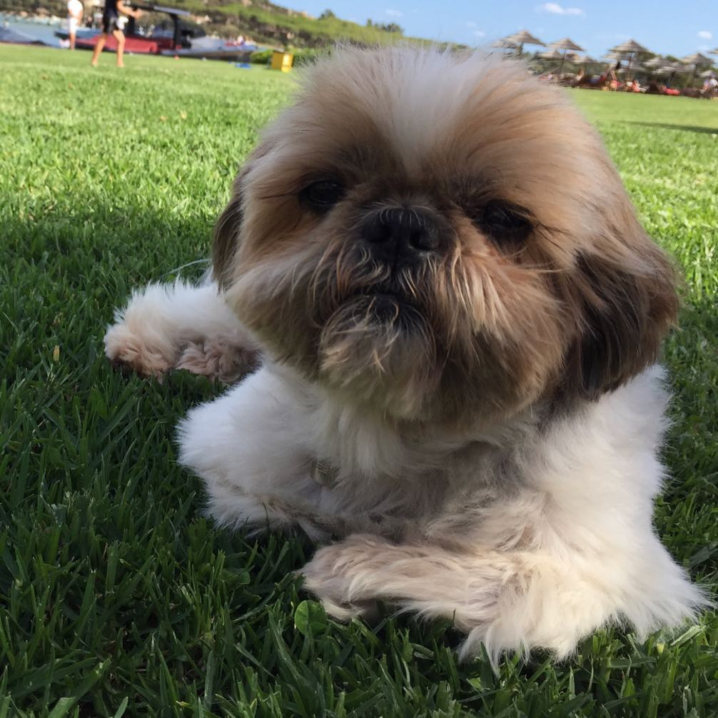 Bellini. Happy on his hols. #bellini #shihtzu