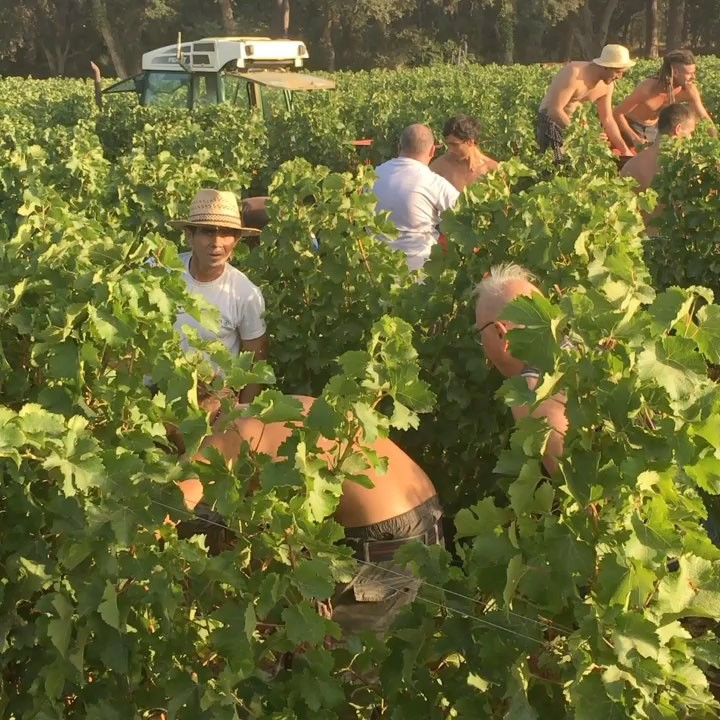 Very proud to announce the start of the harvest at @leoube . All our grapes are organically grown by the sea and carefully hand picked. ❤️🍇 50 local pickers during one month.. @leoubeusa . . . . . . . #organic #biodynamic #provence #alldayrose #leoube