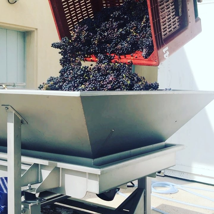 Mourvèdre grapes handpicked all being washed and semi crushed will be used in our Rose #leoube #jcb #artisan #biologic #bythesea