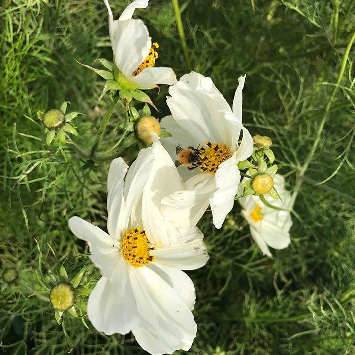 Busy bees collecting pollen in the cutting garden #savethebees #nurturenature #organicfarming @daylesfordfarm