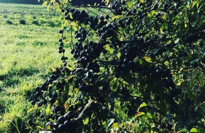 There are plenty of sloes this season. Just not quite ready for picking #foraging #sloes