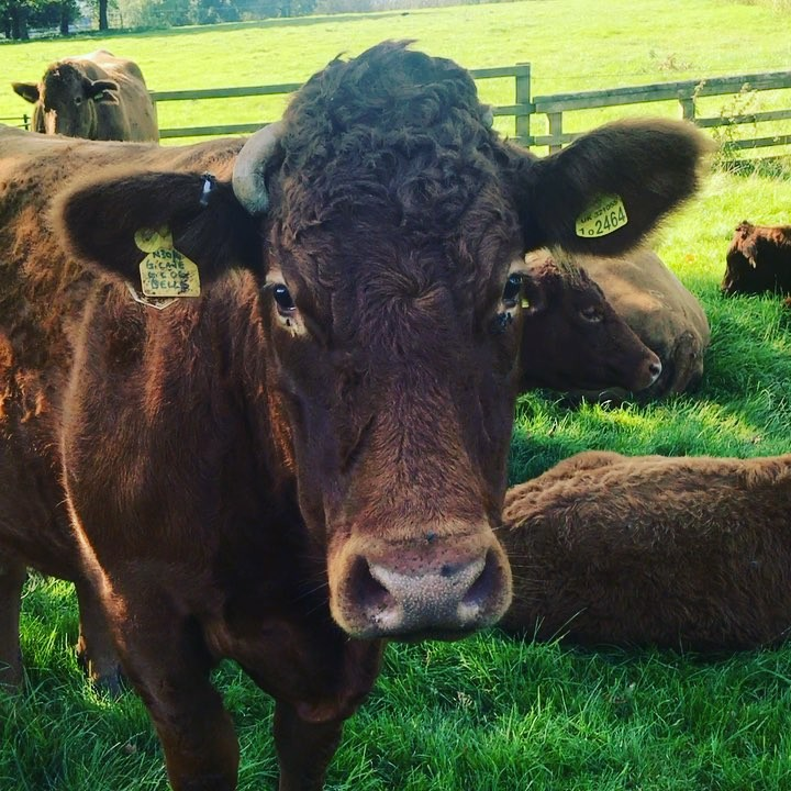 Happy Sunday morning @daylesfordfarm #devon #cattle