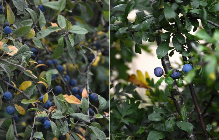 Sloes-23