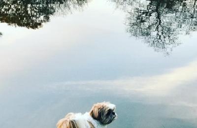 Good morning Bellini #reflections #nature #dogwalk #shihtzu