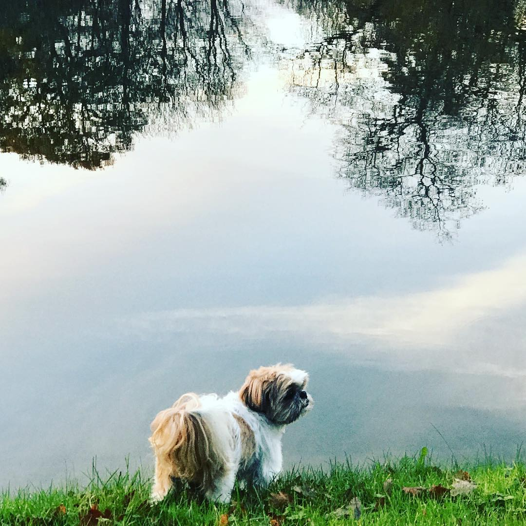 Good morning Bellini #reflections #nature #dogwalk #shihtzu